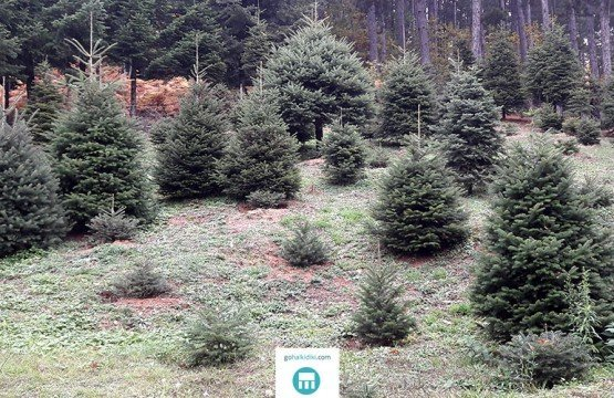 Firs tree of Taxiarchis